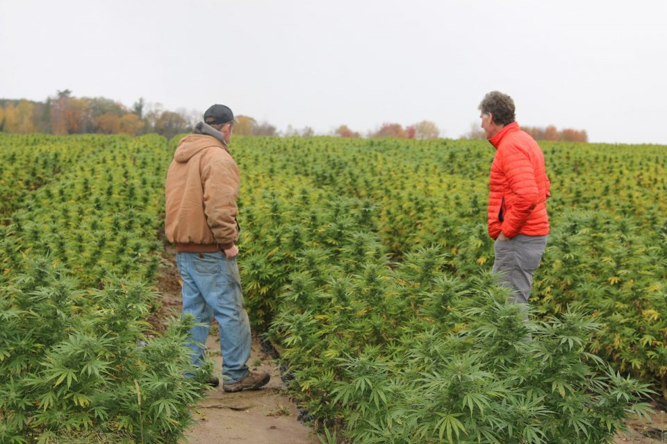 two men standing in a vast field of cannabis plants